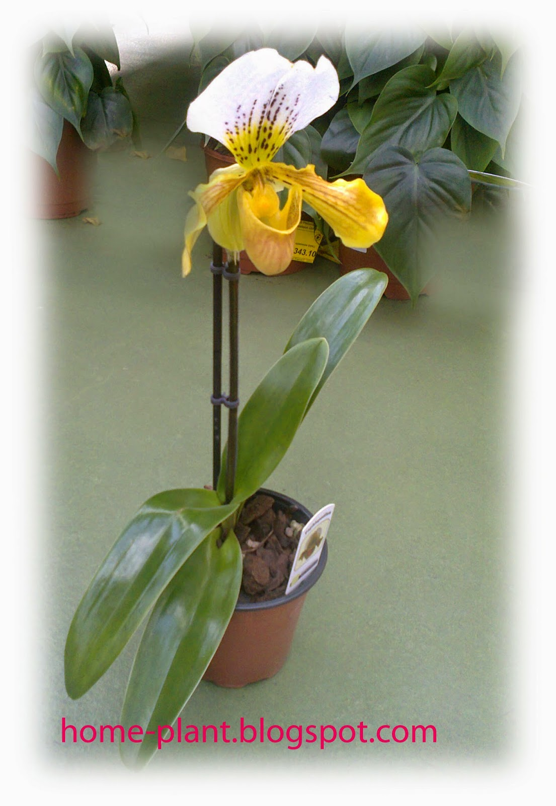 Уход за орхидеей афродита в домашних условиях 404