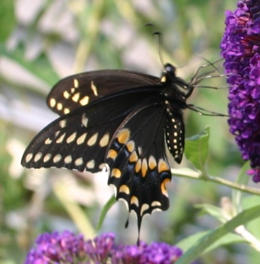 Yellow butterfly that looks like a monarch 10