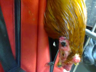 gallo listo para ser enviado en el aeropuerto de colombia a san andres y providencia islas, envios a todas partes del pais