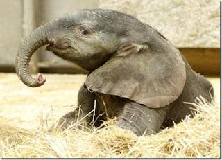 Gajah betina Zoo Vienna dibuntingkan guna sperma beku