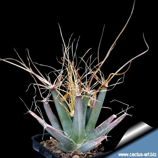 Leuchtembergia