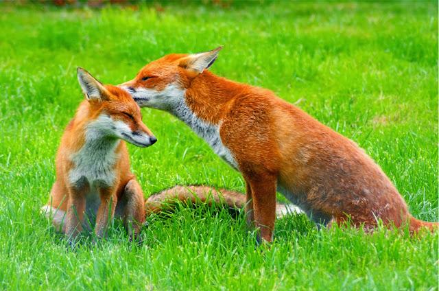 الثعلب وابنه - fox and son