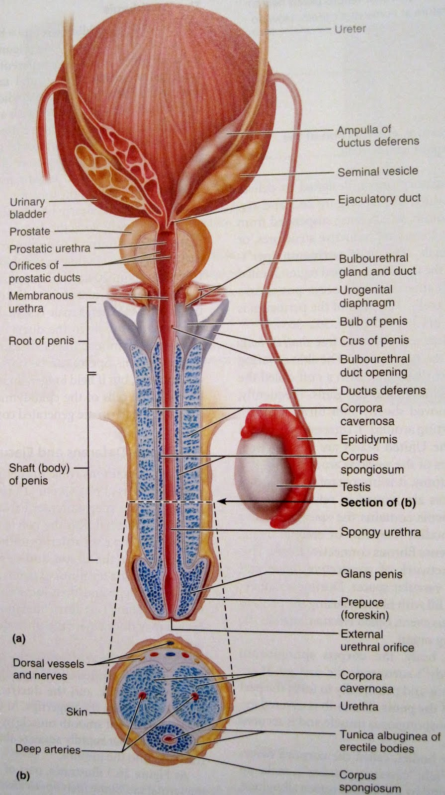 Anatomy and Physiology 2 Eportfolio: Objective 79: Mommy what\'s that ...