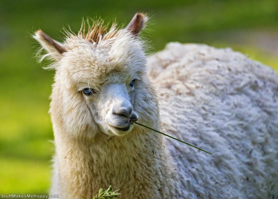 Alpaca or llama 1 (Photo by Tambako The Jaguar)