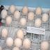 Quail Egg Incubator