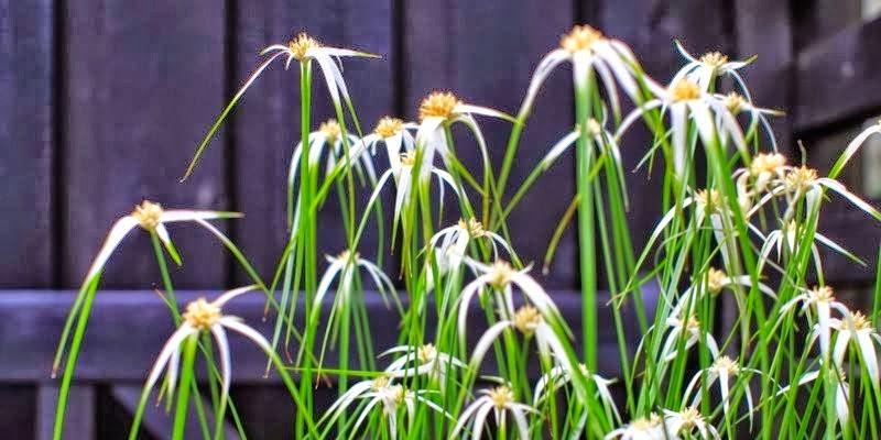 græsarter til krukker