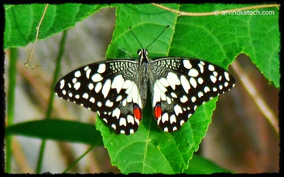Butterfly, Balck, White Dots, Punjab