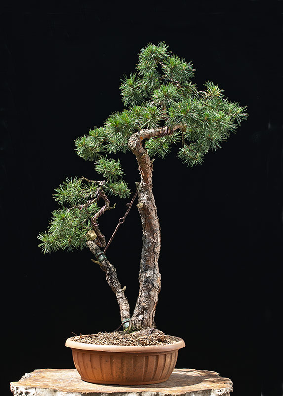 walter pall bonsai adventures scots pine available. Black Bedroom Furniture Sets. Home Design Ideas