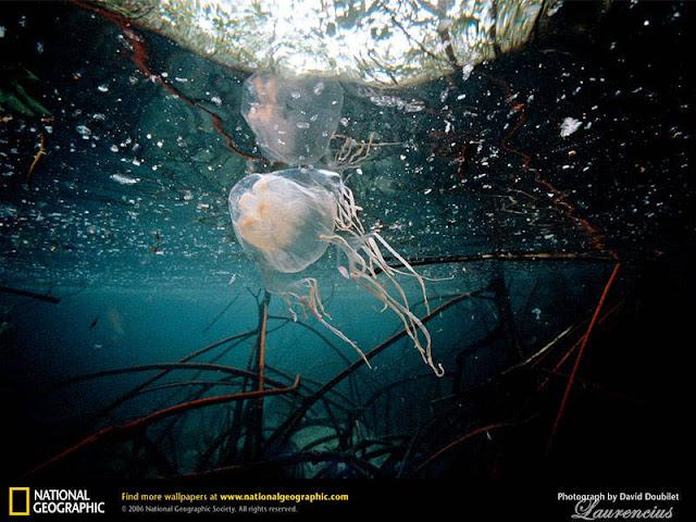Foto-Tawon-laut-Australia-(Chironex fleckeri)_3
