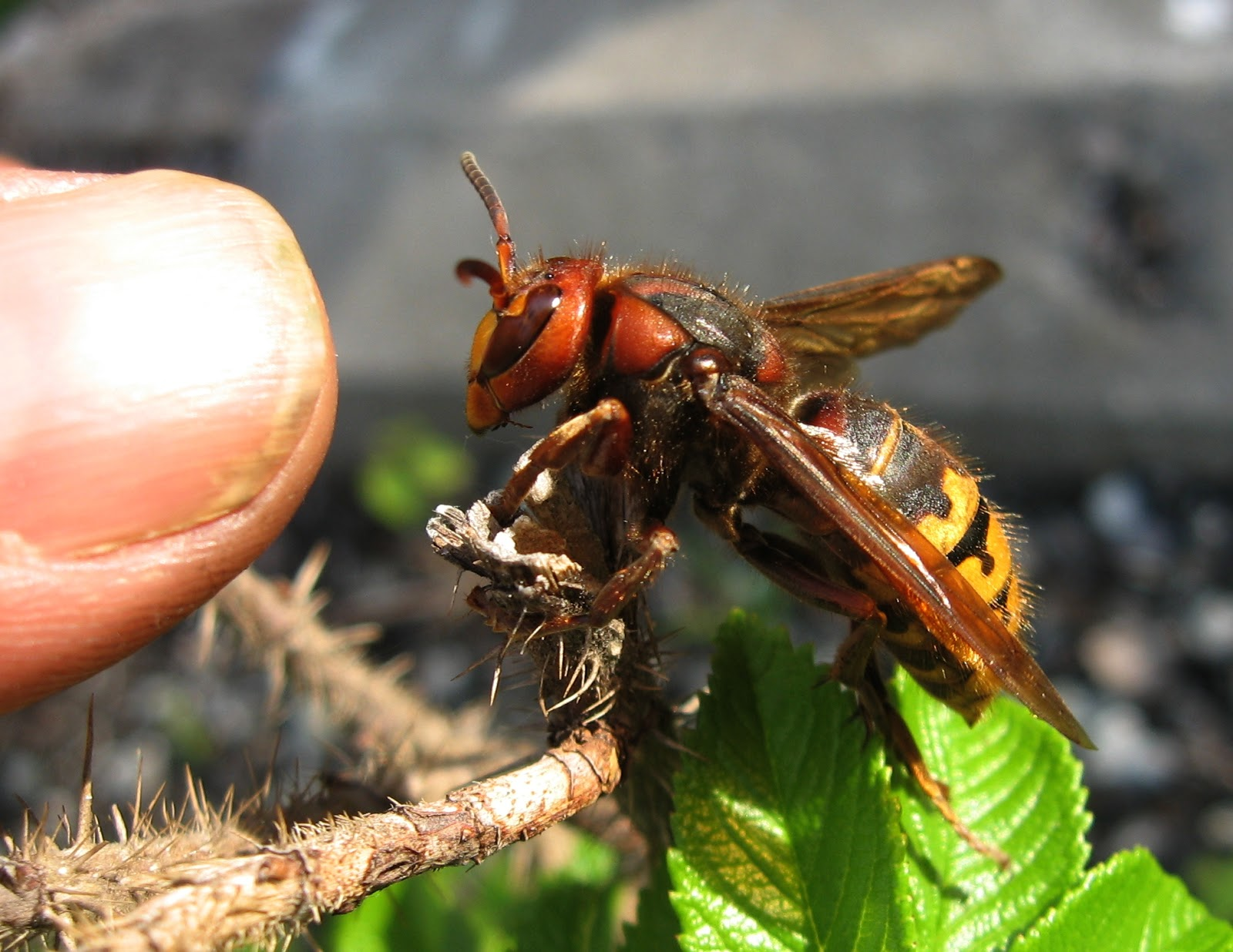 queen hornet insect displaying 18 images for queen hornet insectQueen Hornet Insect