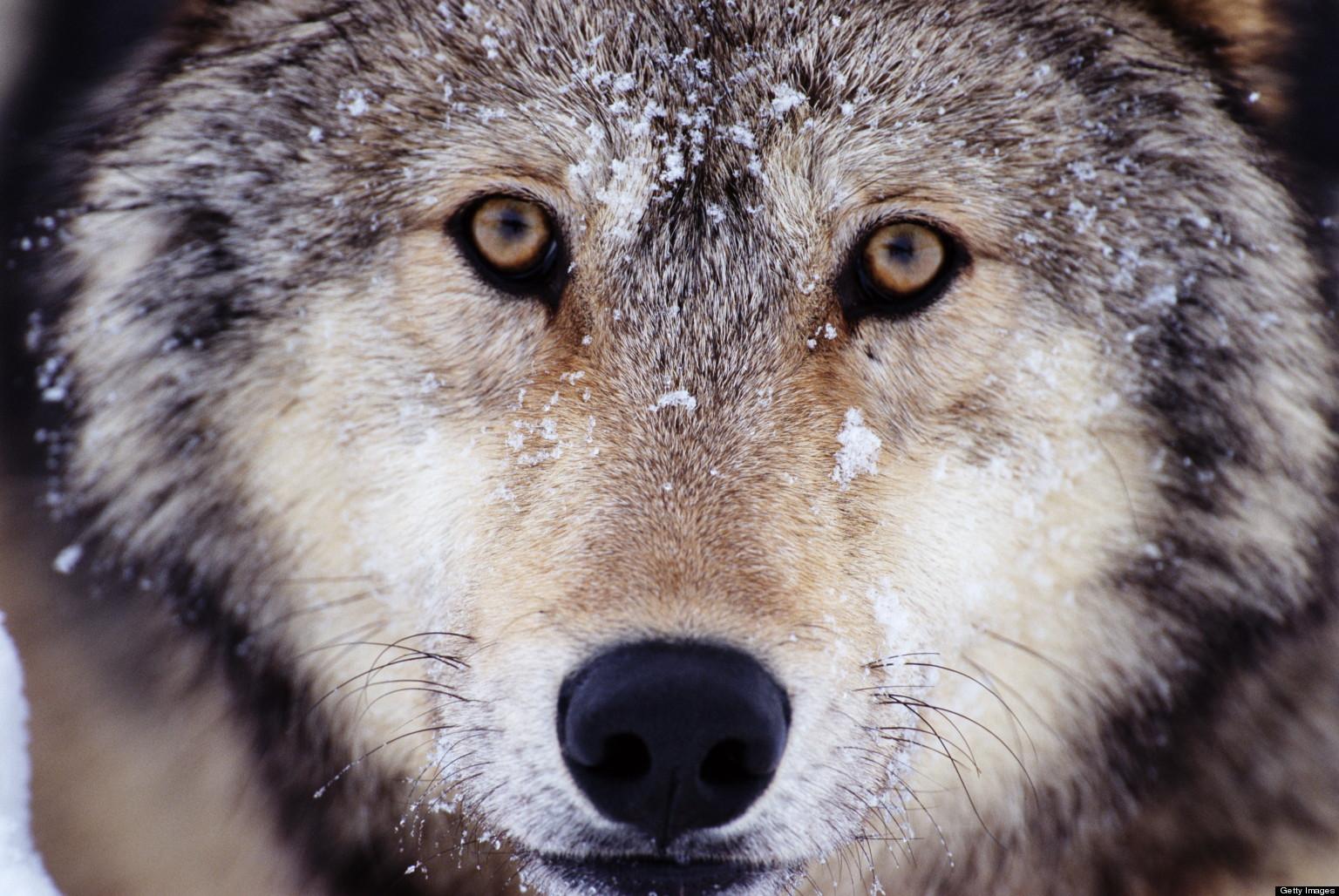 Noixlucoli onlus quanti lupi ci sono in italia un for Quanti senatori ci sono in italia