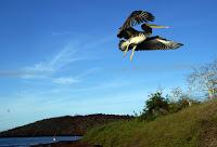 Galapagos Pelican Soaring Over Rabida Island