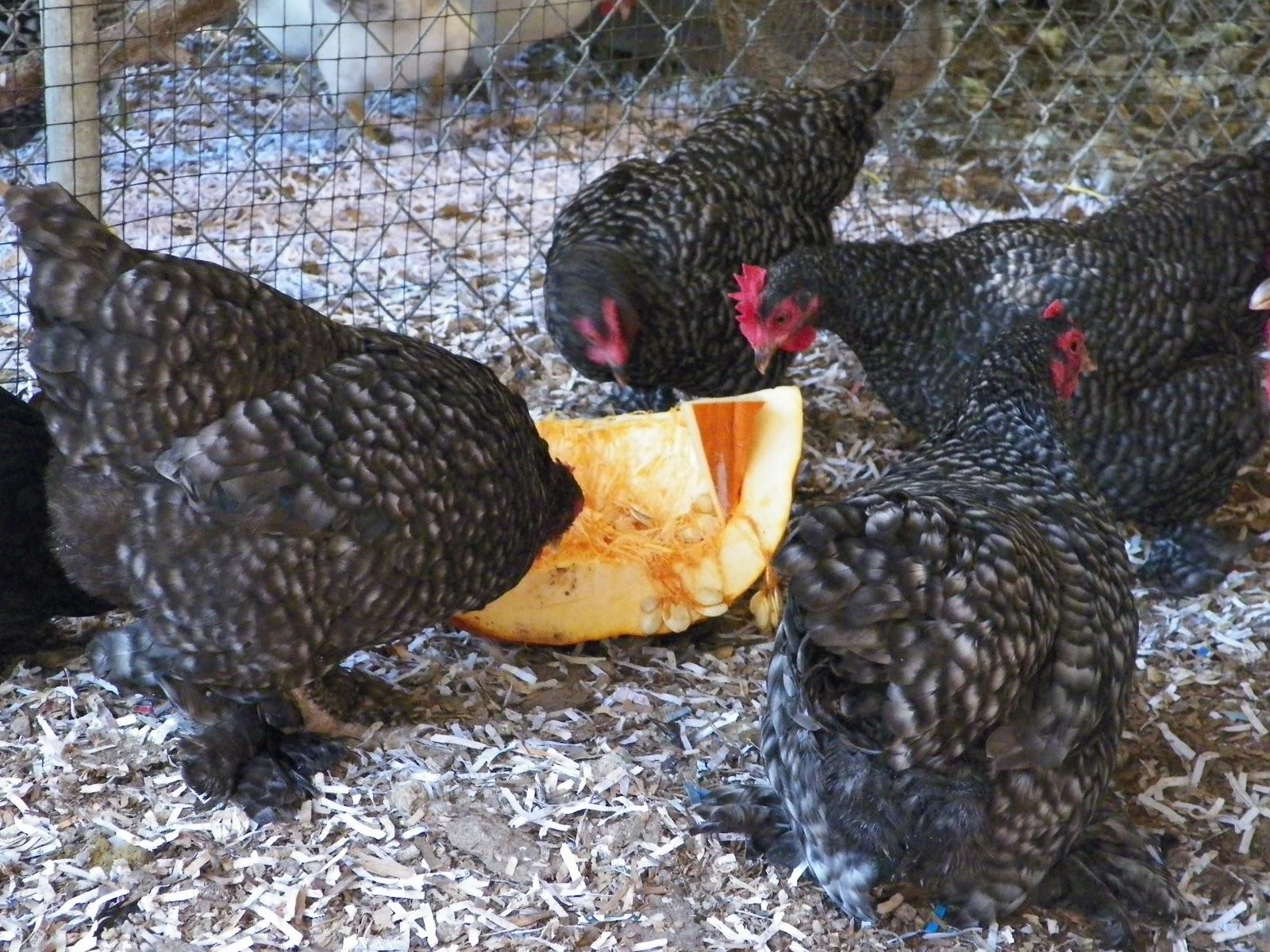 Bantam chicken vs standard