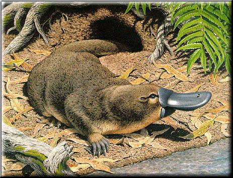 Platypus beak - photo#19