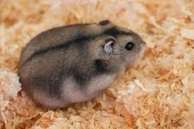 cara merawat bayi hamster