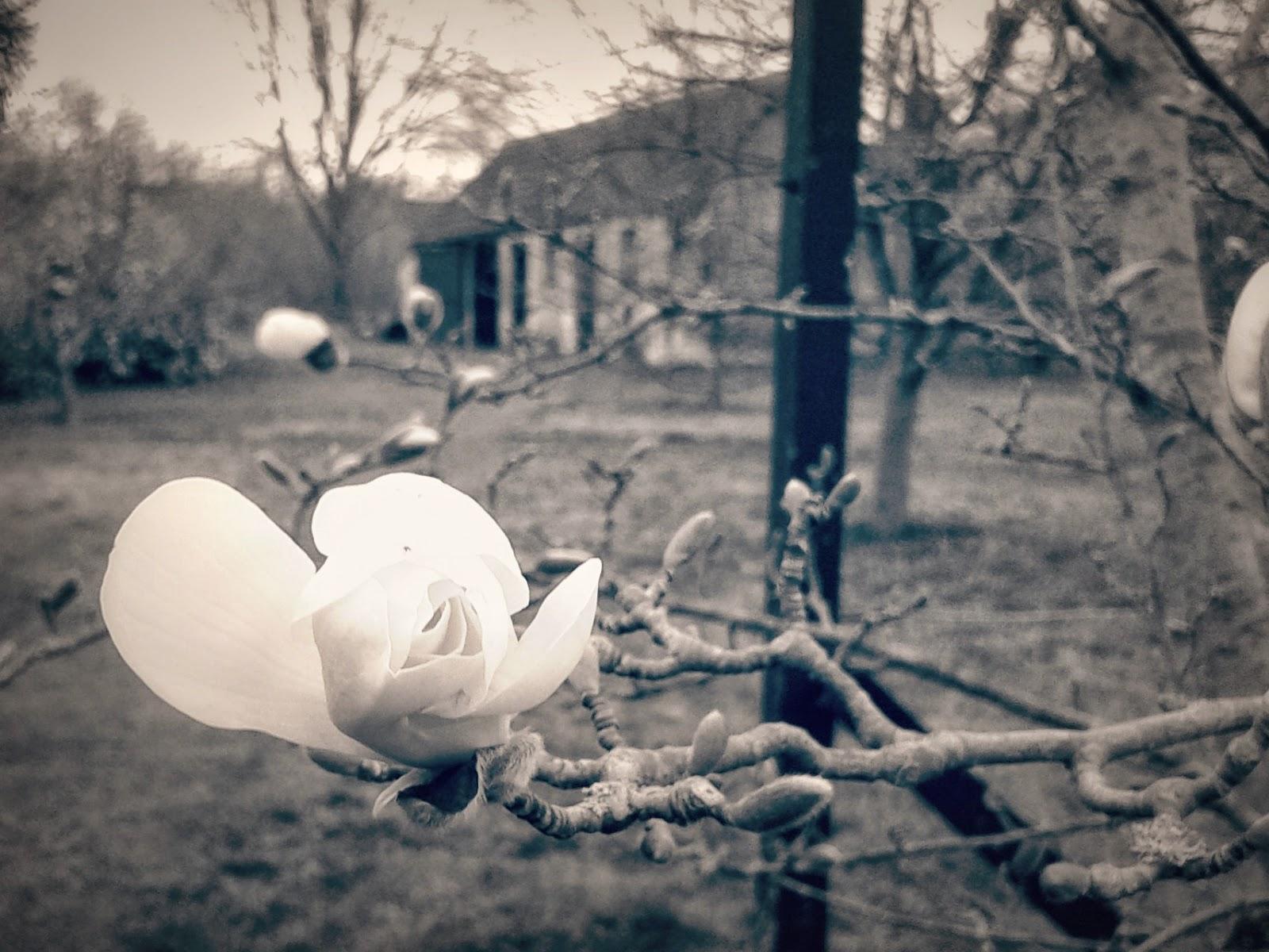 Magnolia - Black & White Photography // 76sunflowers