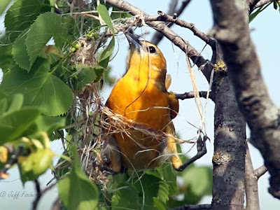 Baltimore Oriole Making a Nest