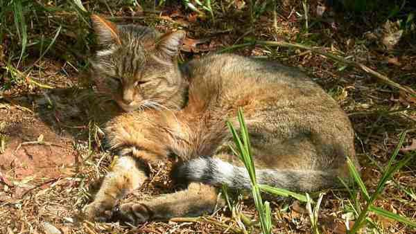 kucing liar, kucing peliharaan