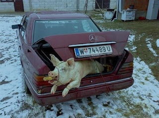 Funny picture: pig in car trunk