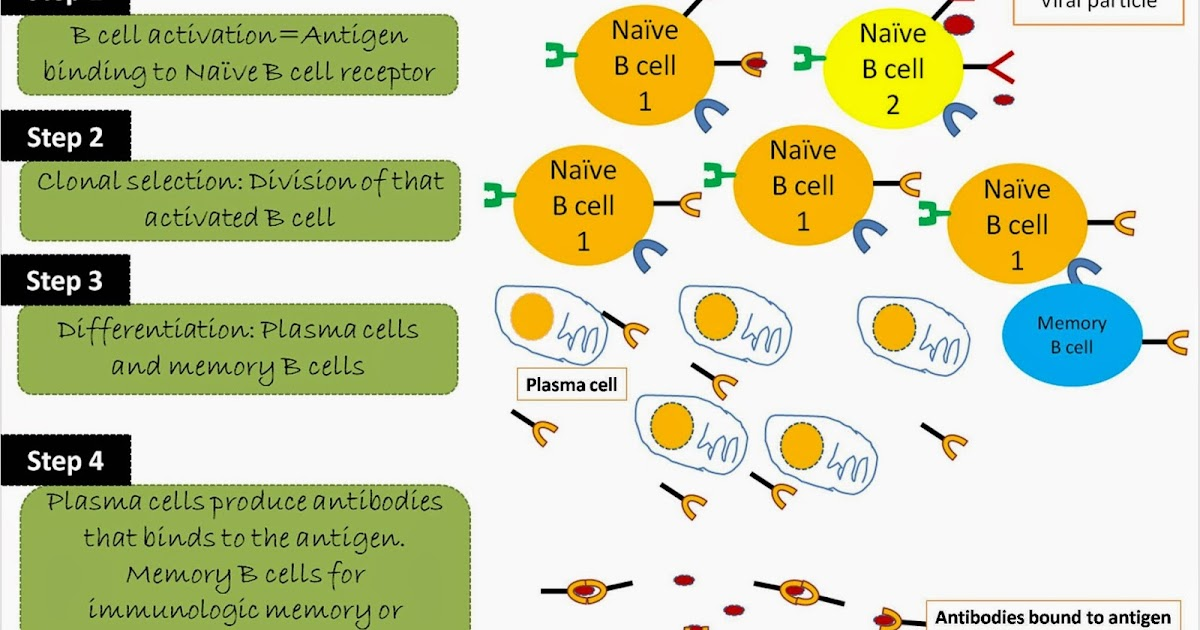 Humoral Immune Response: Definition and Summary of Steps ...