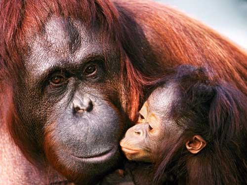 Most Amazing Almost Extinct Animals Sumatran Orangutan