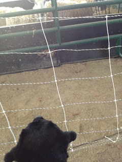 sheep looks at black Lab guide dog Abby from her pen and Abby looks back