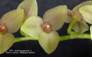 Stelis argentata 1 do blogdabeteorquideas