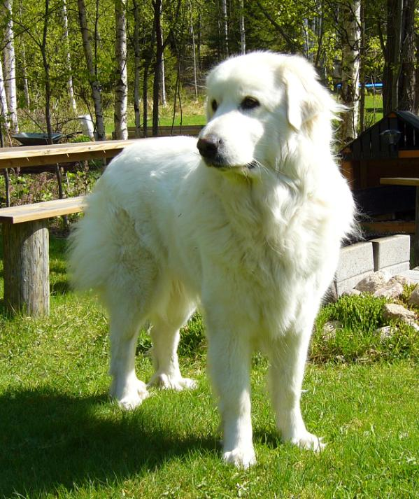Great Pyrenees Best Body Guard and Mountain Dog ~ planetanimalzone