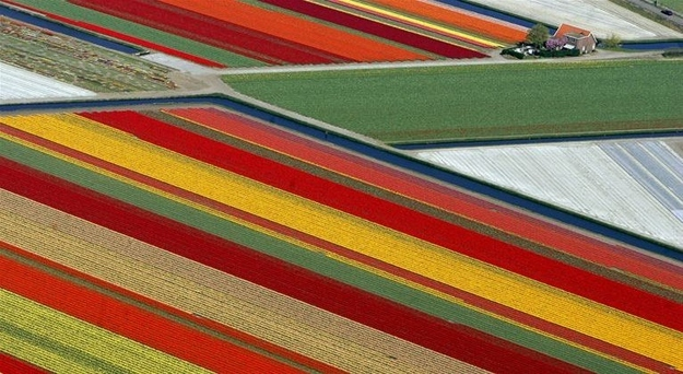Tulip Fields - Netherlands