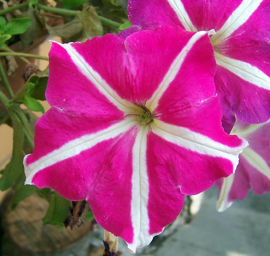 Plantas e flores petunia for Petunie inverno