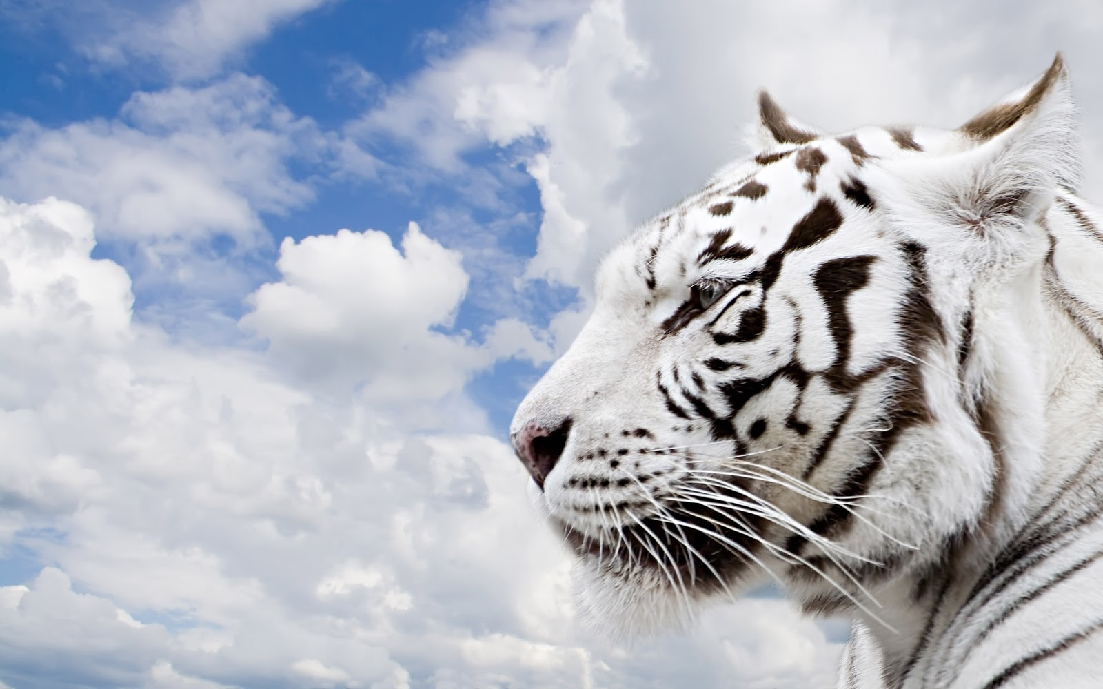 White Tigers Beautiful...