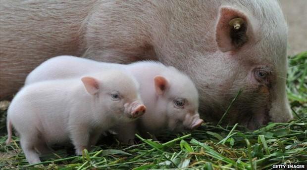 Autoridades abatem 100 'microporcos' em 'Pântano de Gales' (Foto: BBC)
