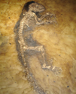 oldest carbon dating dinosaur bones Our understanding of the shape and pattern of the history of life depends on the accuracy of fossils and dating  dinosaur in the same rocks as  is carbon-14.