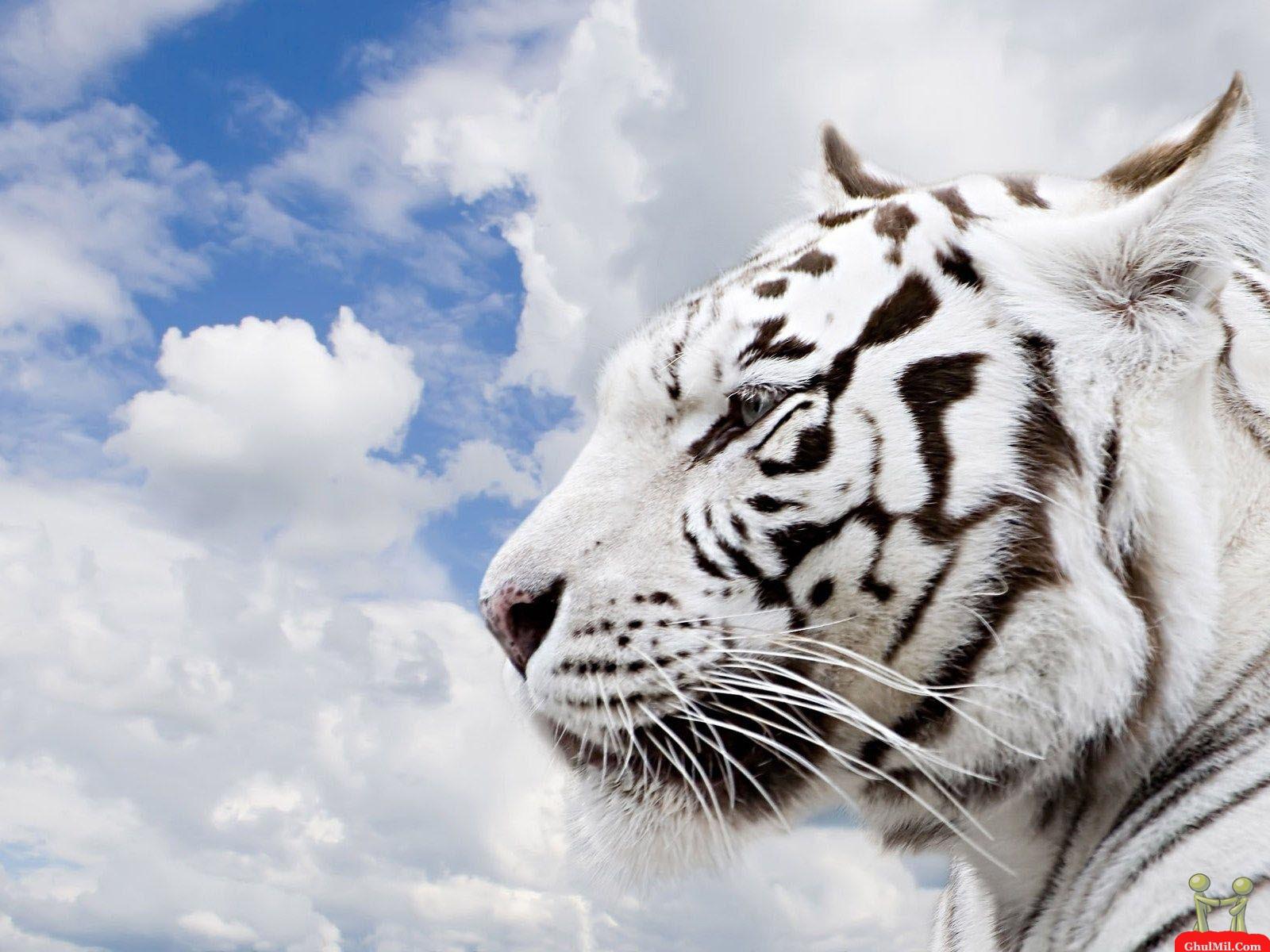 http://1.bp.blogspot.com/-JWaul-QiIo0/T1hh10yAOpI/AAAAAAAABgk/WMSNnmHt2HQ/s1600/siberian-tiger-wallpaper+1.jpg