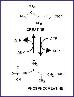 Creatine vs caffeine