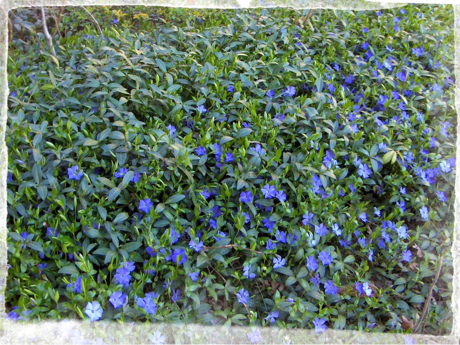 busy bee ground cover that never fails, Natural flower