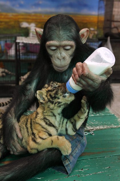 Two-year-old chimpanzee Do Do feeds milk to Aorn, a 60-day-old tiger cub, at Samut Prakan Crocodile Farm and Zoo.