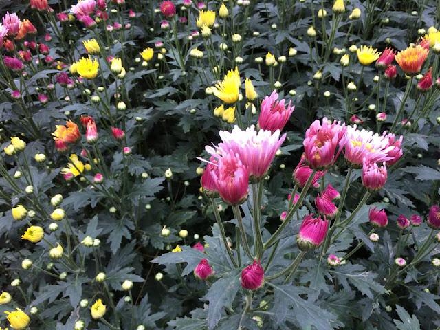 hoa cúc chùm