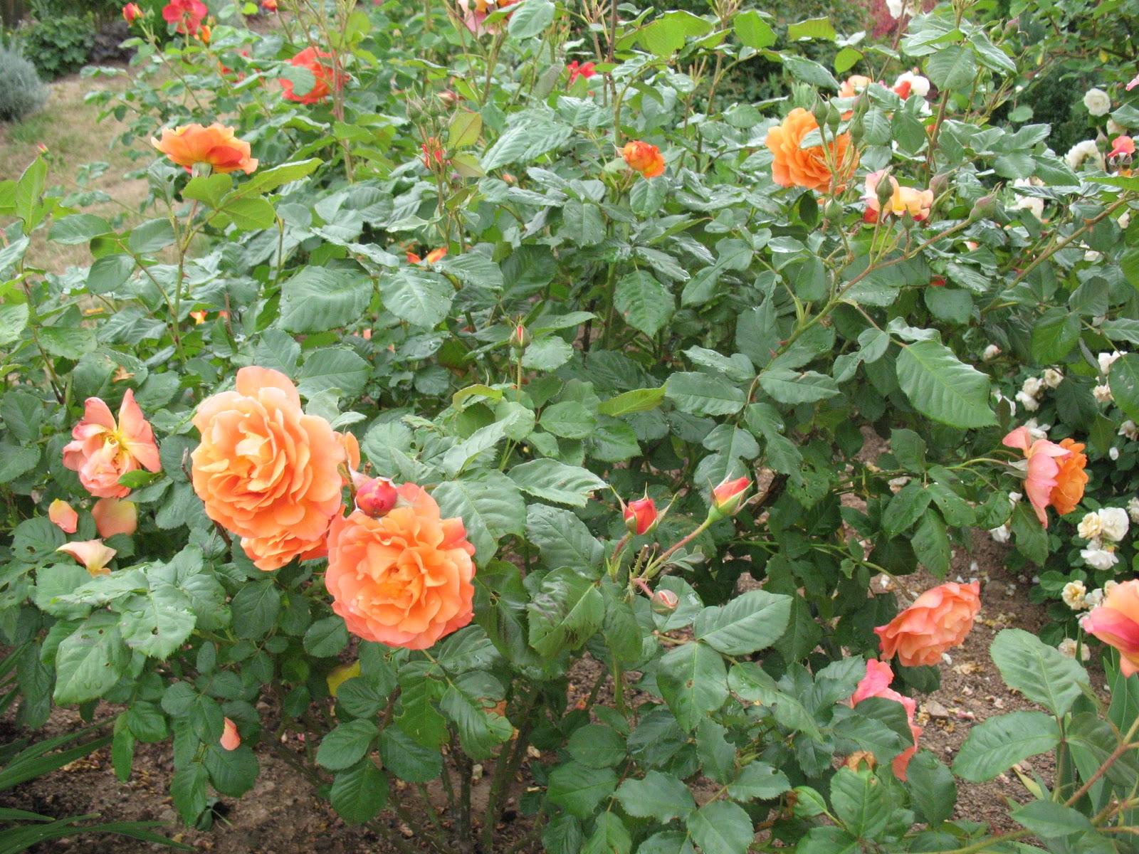 Roses du jardin ch neland rosier westerland - A quel moment tailler les rosiers ...
