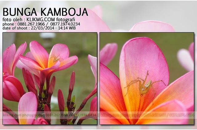 KLIKMG.COM Photography  - Keindahan Bunga Kamboja di sebuah halaman resto di wilayah kecamatan Sumbang – Kabupaten Banyumas (22/12/2014) benar-benar menarik perhatian saya untuk mengabadikannya dalam frame foto dibawah ini. [Klikmg.com photographer Purwokerto / photographer Banyumas / photographer Indonesia]
