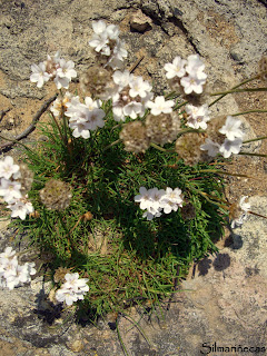 flores - Cóbreces - Cantabria