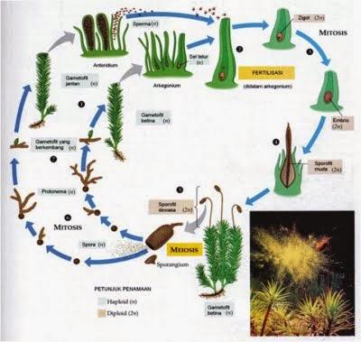 Gambar Metagenesis Pada Lumut