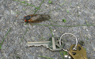 Live Cicada with house key showing that its the same size as the key