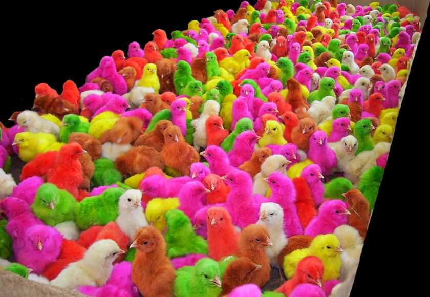 Amazing Creativity Cute Colored Baby Chicks