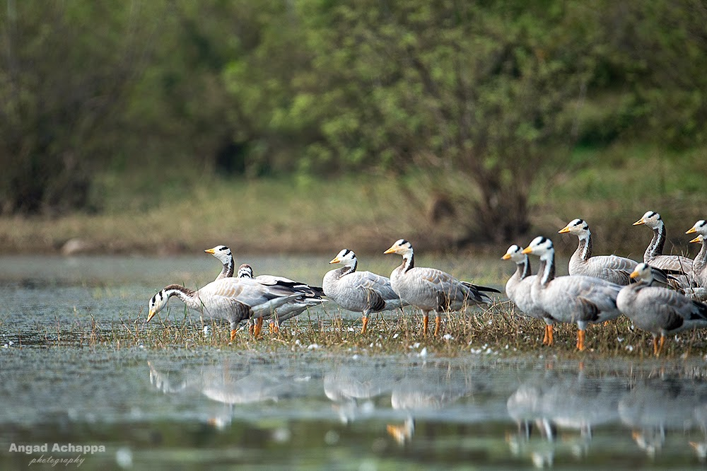 bar headed geese, bar headed goose, birding, indian birds, ducks, birds of india, bird photography, Bandipur, Bandipur National Park, Karnataka, India, Wildlife Photography, Indian Wildlife, top indian wildlife photographers, top indian photographers, top indian bird photographer