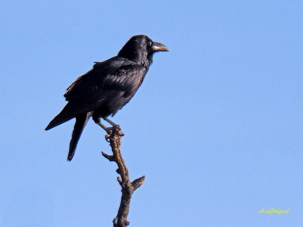 MIS AMIGAS LAS AVES: CUERVO Grade (Corvus corax)
