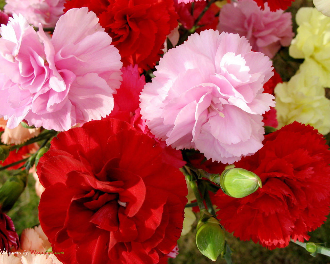 Download Free Flower Wallpapers Desktop