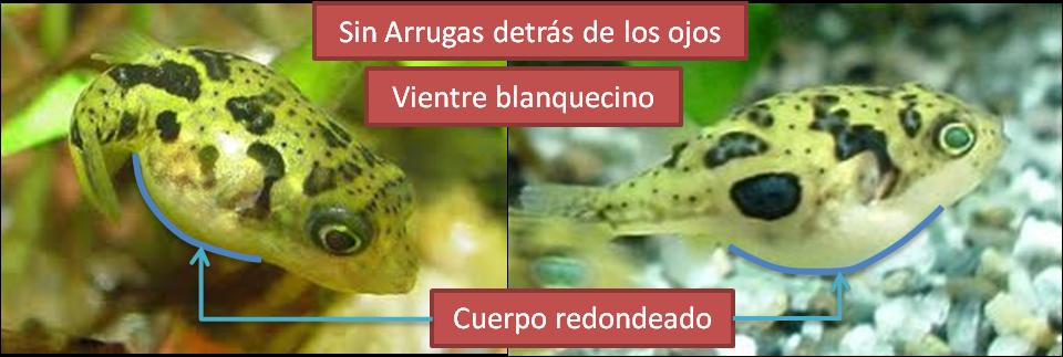 Características sexuales del Carinotetraodon Travancoricus hembra