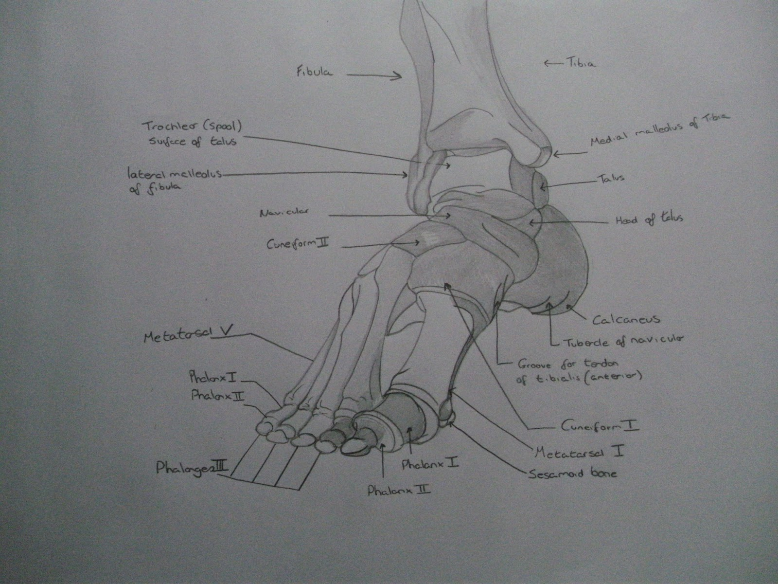 Anatomy Sketches (Bones of the foot) | Sketch blog