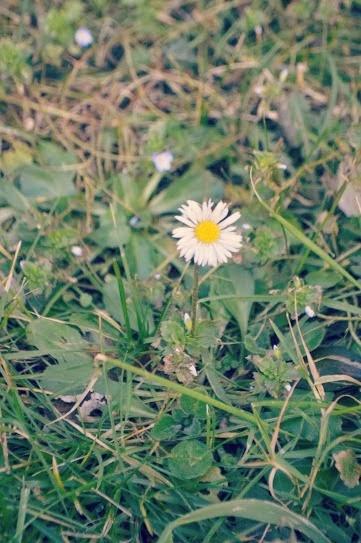 Daisy weed flower garden Hakin Pembrokeshire Wales